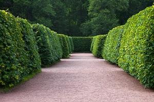 hedge cutting woking resized